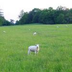 Ovečky se diví.
